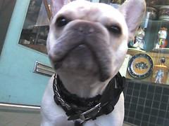 british bulldogs(0.0), olde english bulldogge(0.0), white english bulldog(0.0), dog breed(1.0), animal(1.0), dog(1.0), old english bulldog(1.0), pet(1.0), toy bulldog(1.0), french bulldog(1.0), carnivoran(1.0), bulldog(1.0),