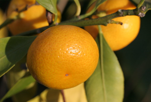 satsuma in my garden