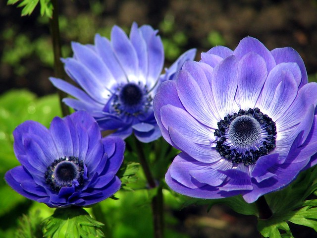 anemone coronaria flickr photo sharing. Black Bedroom Furniture Sets. Home Design Ideas