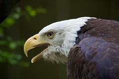 wing(0.0), vulture(0.0), egyptian vulture(0.0), animal(1.0), bird of prey(1.0), eagle(1.0), fauna(1.0), close-up(1.0), bald eagle(1.0), accipitriformes(1.0), beak(1.0), bird(1.0), wildlife(1.0),