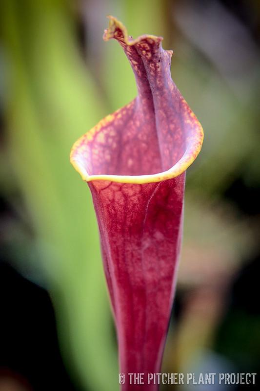 Sarracenia flava var. rubricorpora - lidless