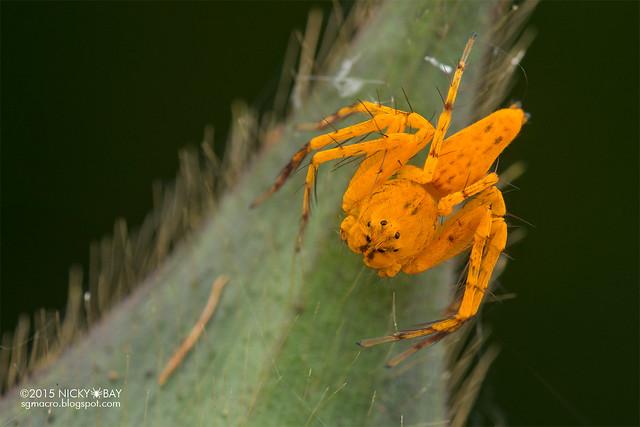 Lynx spider (Hamataliwa sp.) - DSC_4372
