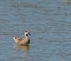 Marmorand (Marmaronetta angustirostris) - Marbled Duck - Marmelente - Cerceta Pardilla by Søren Vinding