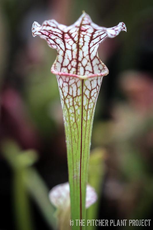Sarracenia leucophylla 'Hurricane Creek White' - Clone F x 'Adrian Slack'