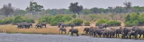africa panorama elephant beach nikon pano drinking overcast savannah botswana hazy herd kasane 18200mm choberiver d90 africanwildlife chobenationalpark stevelamb