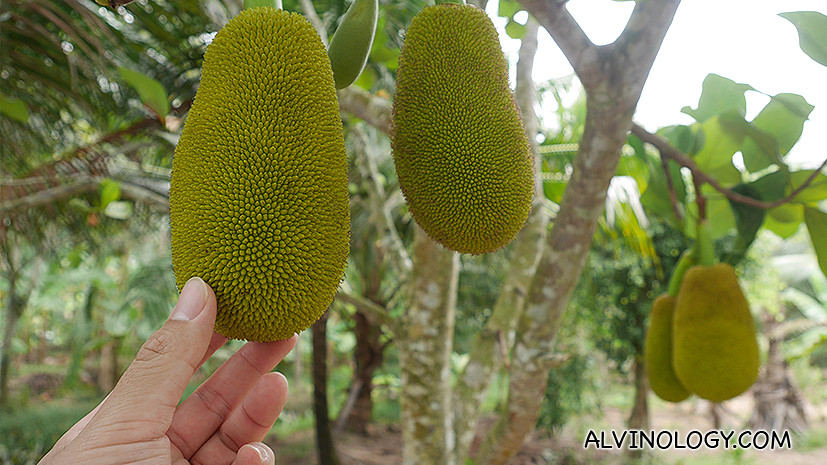 Mini jackfruit