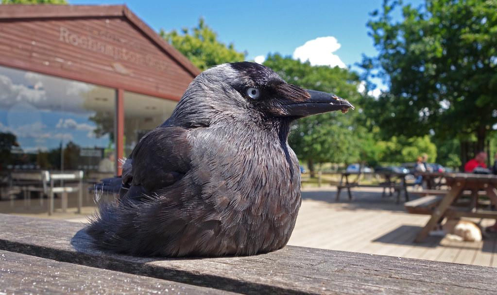 Raven? Crow?