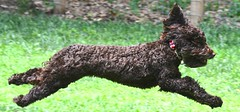 miniature poodle, dog breed, animal, dog, schnoodle, pet, lagotto romagnolo, kerry blue terrier, portuguese water dog, barbet, american water spaniel, mudi, carnivoran, scottish terrier, terrier,