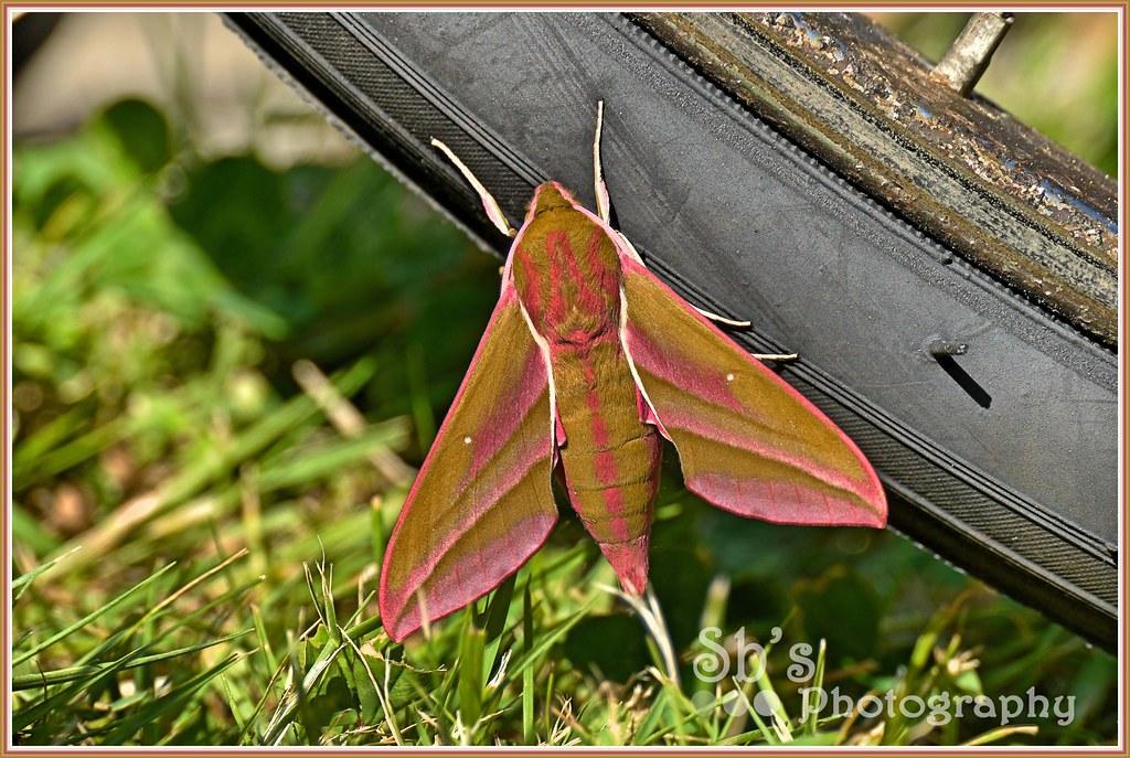 Elephant Hawkshead Moth