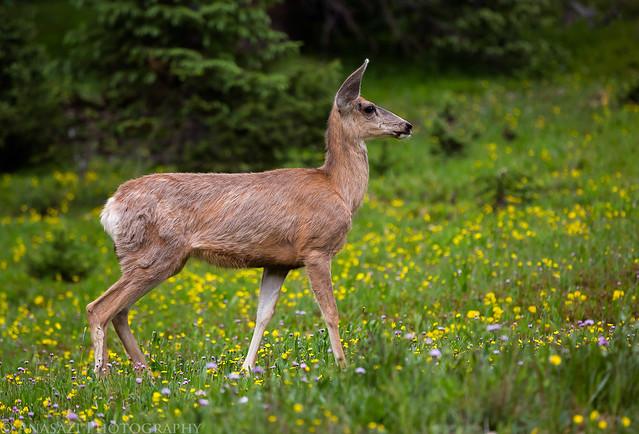 Corkscrew Gulch Deer