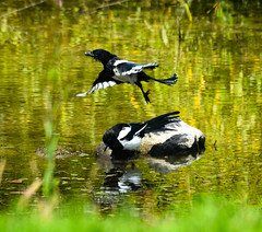 Magpies on the Pond