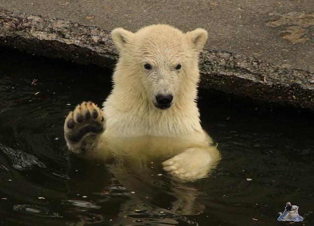 Eisbär Fiete im Zoo Rostock 12.07.2015 064