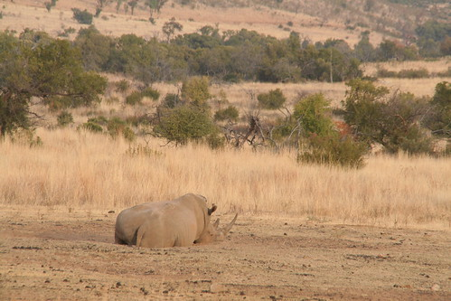 Huge lazy rhino, 12th of the day