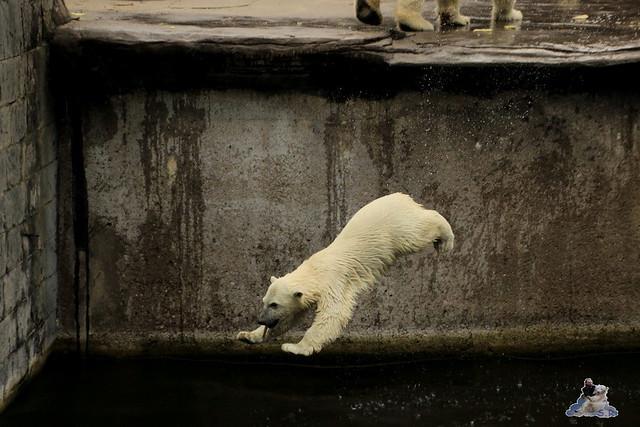 Eisbär Fiete im Zoo Rostock 12.07.2015 06