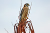 American Kestrel, male
