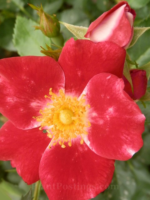 'carefree spirit' shrub rose