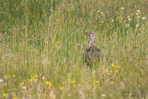 bird us colorado unitedstates july walden prairie 2015 greatersagegrouse arapahonwr centrocerusurophasianus