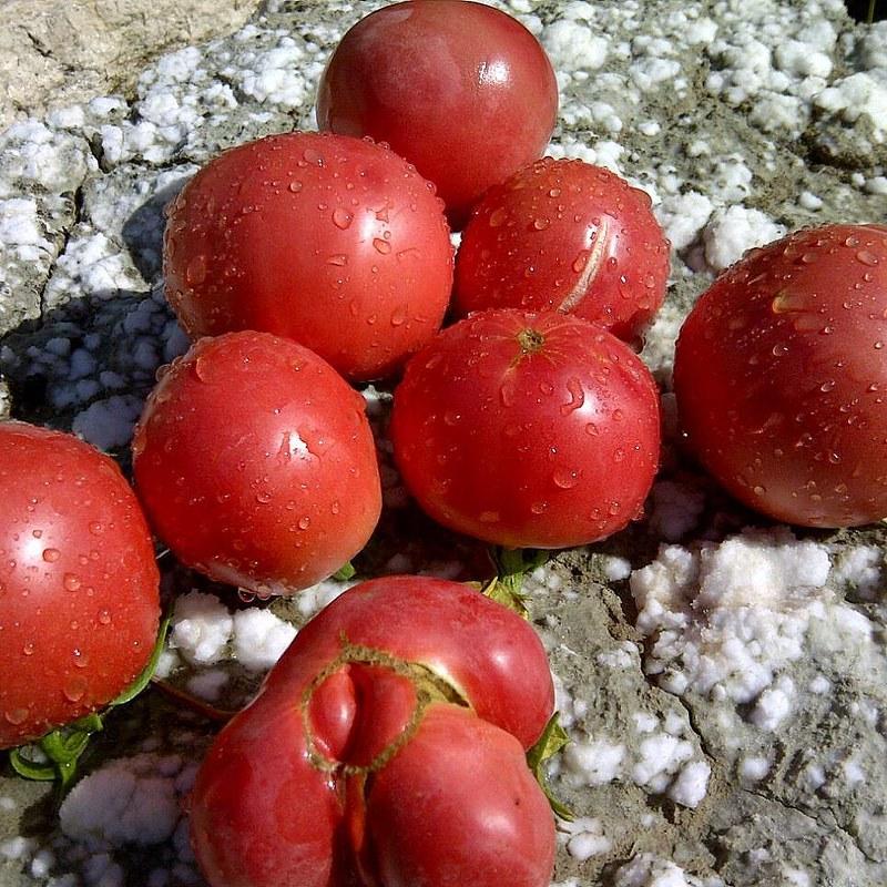 Mi hermano me envía primeros #tomates cosechados en el #pueblo (burpee delicious, malinowy olbryzn). Este año si sacamos al menos 10 kilos de cada nos damos por satisfechos #oladecalor #cultivos