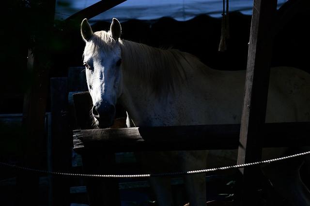 ウマ A horse