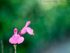 Pink flower (mint family)?