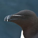 Razorbill by After-the-Rain