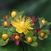 Hypericum #2 by Lord V