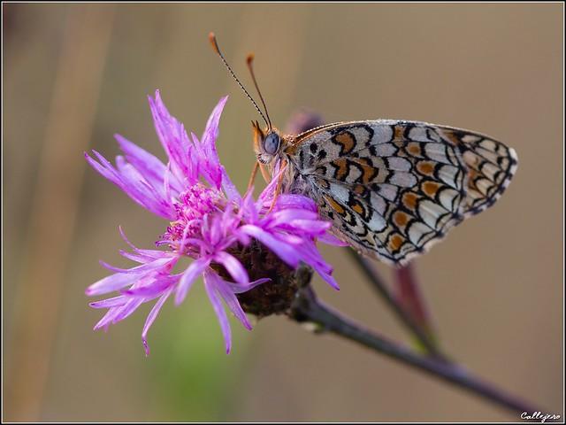 Farfalla-7721