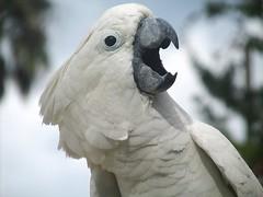cockatoo, animal, parrot, wing, sulphur crested cockatoo, fauna, close-up, beak, bird, wildlife,
