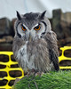 White Faced Scops Owl by littlestschnauzer