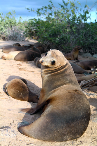 Galapagos - seal - G Adventures.jpg