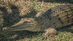 Sweetwater Crocodile