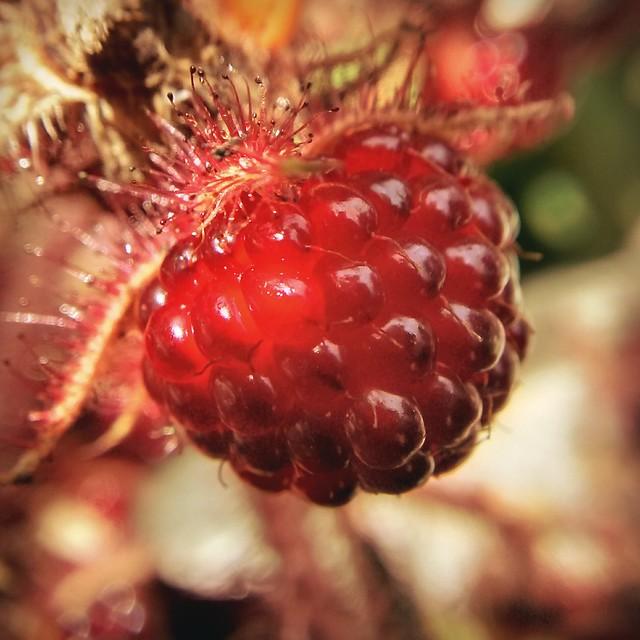 Japanese raspberry
