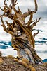Bistlecone Pine-31139 by R. Kent Squires