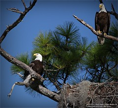 bald-eagles-shoot-2013-12-22palm-harborfl_img_2675__28175510960_o