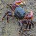 Rock Crab Extravaganza by FotoGrazio