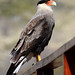 Southern Crested Caracara, Torres Del Paine (Helen Pinchin)