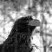 Eagle, Aigle, ZooParc de Beauval, Saint-Aignan, France.