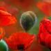 Giant poppies 2 by Reg Ramai