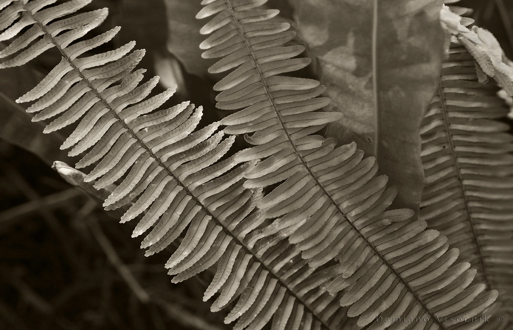 Backyard ferns_c_rs