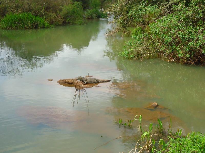 Caimán de Iguazú