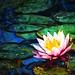 Buddha's Lily. by kennethcanada1