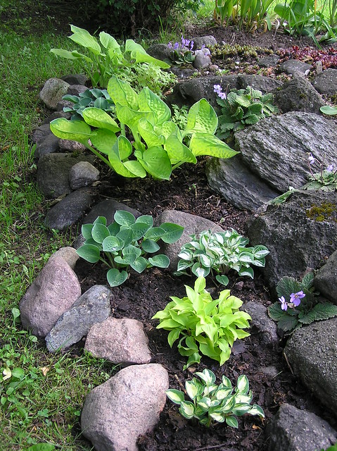 Miniature hostas