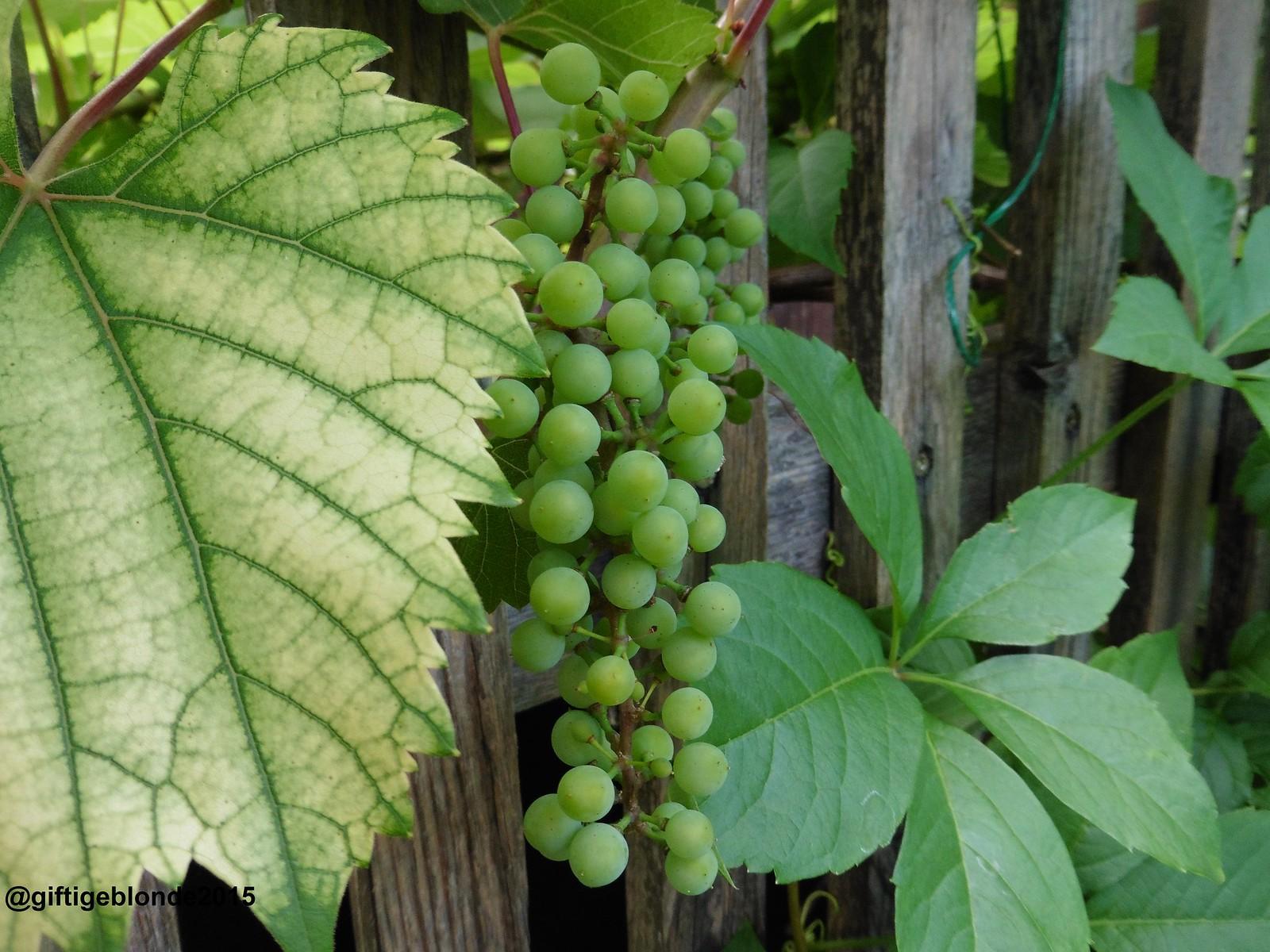 Weintrauben aus Nachbars Garten, Juli 2015