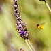 Wasps At The Lavender by sbisson