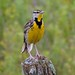 Meadowlark by Sara Turner Photography