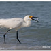 Snowy Egret by Betty Vlasiu
