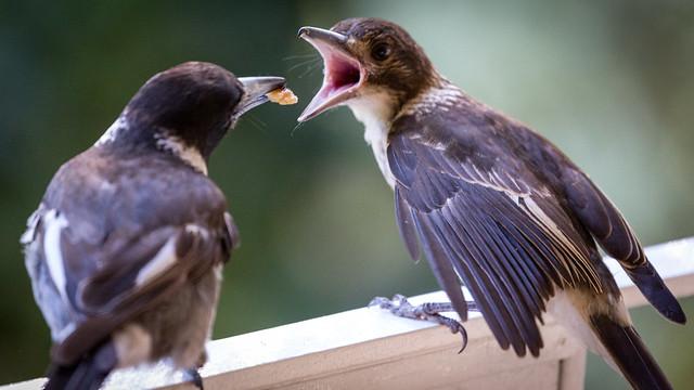 Baby Grey Butcherbird Feeding