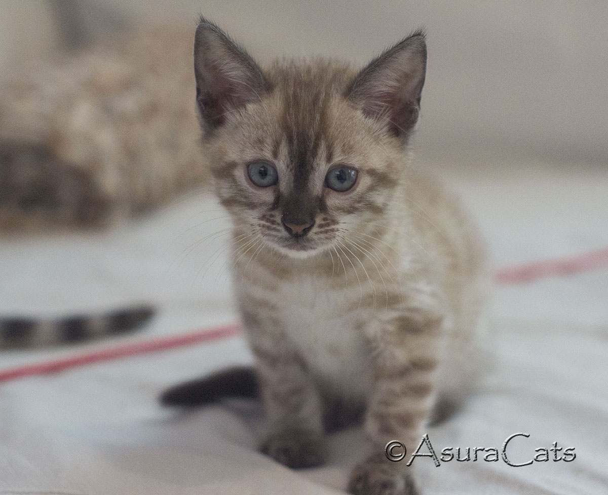 AsuraCats Inky - Seal Lynx point snow Charcoal female Bengal kitten