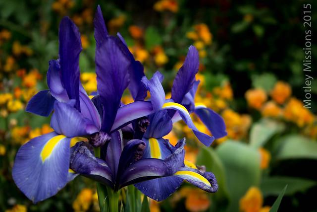 purple irises (1 of 1)