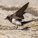 Swallow by alanrharris53
